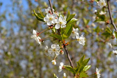 Spring blooming branch of cherry tree Royalty Free Stock Photos
