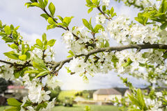 Spring Blooming Branch with Green Leaves. And Blurred Village on Background royalty free stock images
