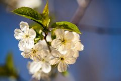 Spring blooming on the branches. In a beautiful day Stock Photography