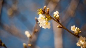 Spring blooming on the branches. In a beautiful day Royalty Free Stock Photo