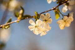 Spring blooming on the branches. In a beautiful day Royalty Free Stock Photography
