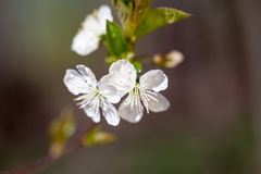Spring blooming on the branches. In a beautiful day Royalty Free Stock Photos