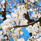 Spring blooming cherry branch Royalty Free Stock Photo