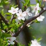 Spring blooming cherry branch Royalty Free Stock Image