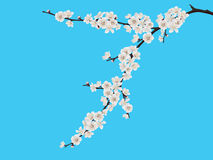Spring blooming cherry branch Stock Photos