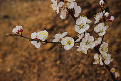 Spring blooming cherry branch Royalty Free Stock Images