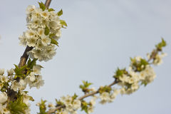 Spring blooming cherry flowers branch Stock Photo