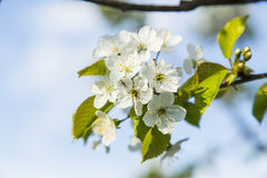Spring blooming cherry flowers branch royalty free stock image