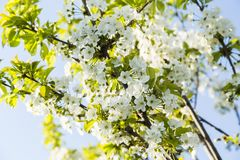 Spring blooming cherry flowers branch stock images