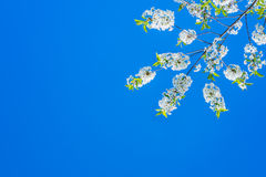 Spring blooming cherry. Over the sky background Royalty Free Stock Photos