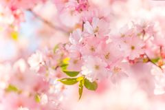 Spring blooming cherry tree Stock Images