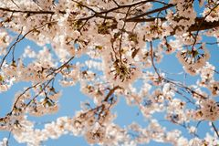 Spring blooming cherry tree in Salt Lake City with blue sky background. stock photography