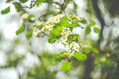 Spring blooming closeup royalty free stock photo