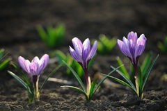 Spring blooming crocus flowers Royalty Free Stock Photography