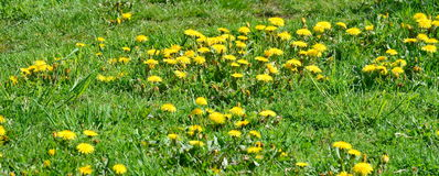 Spring blooming dandelion . South Bohemia stock photos