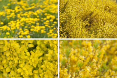 Spring blooming. Flower bokeh. Set of 4 yellow defocused flower background. Summer or spring concepts Royalty Free Stock Image