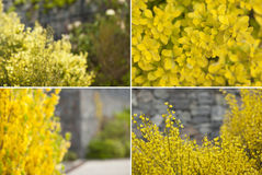 Spring blooming. Flower bokeh. Set of 4 yellow defocused flower background. Summer or spring concepts Stock Photography