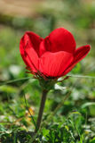 A spring blooming flower red anemone Among stones stock images