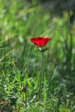 A spring blooming flower red anemone Among stones royalty free stock image