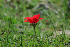 A spring blooming flower red anemone Among stones royalty free stock photography