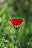 A spring blooming flower red anemone Among stones stock image