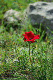 A spring blooming flower red anemone Among stones Royalty Free Stock Photos