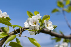 Spring blooming flowers Royalty Free Stock Photography