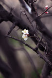 Spring blooming flowers stand out on a branch. Dramatic backgrou Stock Photography