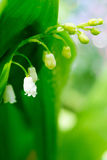 Spring blooming forest gentle flowers lilies of valley in drops of dew on light green background of leaves Stock Images