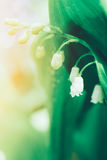 Spring blooming forest gentle flowers lilies of valley in sunlight with dew drops on light green background Royalty Free Stock Image