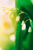 Spring blooming forest gentle flowers lilies of valley in sunlight on light green background of leaves outdoor close-up Royalty Free Stock Photo