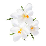 Spring blooming fragile crocus white flowers isolated. Spring blooming fragile crocus white sunlight flowers with leafs top view isolated Stock Photos