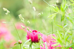 Spring Blooming in the Garden Stock Photography