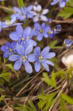 Spring. Blooming hepatica in a pile of leaves on a spring day in the forest stock photos