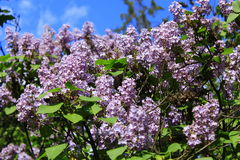 Spring blooming lilac Stock Photo