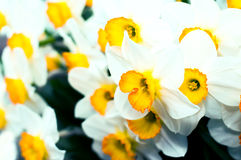 Spring blooming narcissuses, selective focus, toned. Narcissus flower yellow, white. Narcissus L. Daffodils white yellow. royalty free stock photography