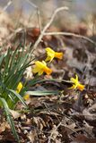 Spring Blooming Naturalized Yellow Gold Daffodils. These are naturalized spring blooming yellow and gold daffodils or narcissus, flowering perennial bulbs stock photo