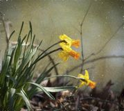 Spring Blooming Naturalized Yellow and Gold Daffodils. These are naturalized spring blooming yellow daffodils or narcissus, flowering perennial bulbs. I painted stock photos