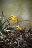 Spring Blooming Naturalized Yellow and Gold Daffodils. These are naturalized spring blooming yellow daffodils or narcissus, flowering perennial bulbs. I painted royalty free stock image