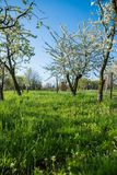 Spring blooming orchard. Apple trees during blooming. Spring orchard Stock Photography