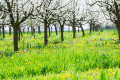 Spring blooming orchard on green grass and dandelion flower mead. Ow as nature background full of bright sun light royalty free stock photography