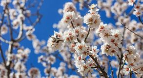 Spring blooming. Pink almond blossoms closeup, blur background Stock Images