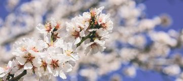 Spring blooming. Pink almond blossoms closeup, blur background, banner Stock Photos