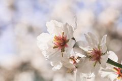 Spring blooming. Pink almond blossoms closeup, blur background, copy space Royalty Free Stock Photos