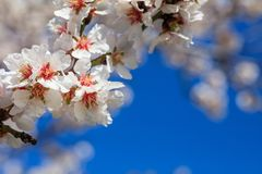 Spring blooming. Pink almond blossoms closeup, blur background, copy space Stock Images