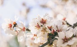Spring blooming. Pink almond blossoms closeup, blur background, copy space Royalty Free Stock Images