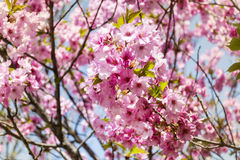 Spring blooming pink  cherry  tree. Beautiful pink   spring cherry blossoms Stock Photos