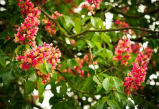 Spring blooming pink chestnut tree flowers, nature background Royalty Free Stock Image