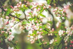 Spring blooming in pink royalty free stock image