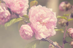 Spring blooming pink roses blossoms tree. Vintage filtered, selective soft focus, beautiful fine art photo style Royalty Free Stock Photography